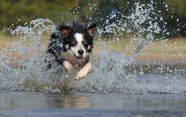 Border Collie corsa sull'acqua