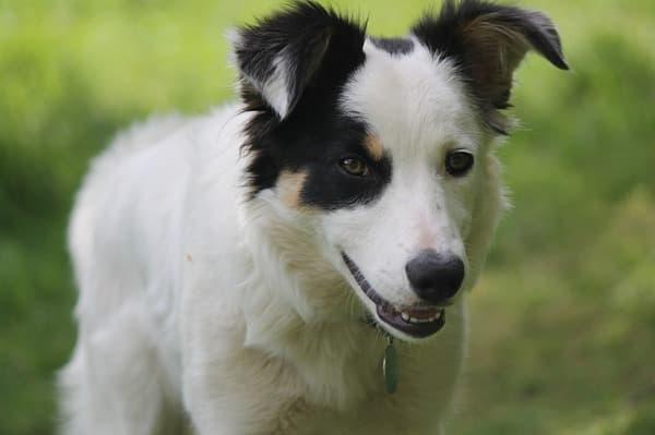 Border Collie cucciolo bianco e nero