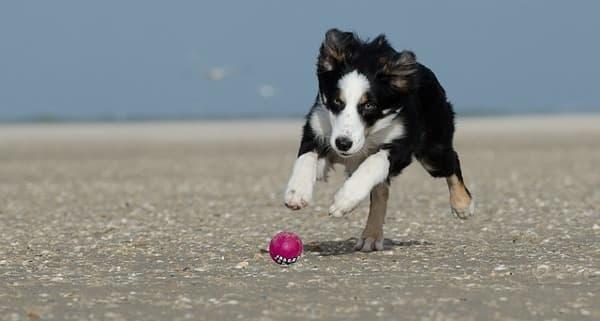 Border Collie cucciolo che gioca