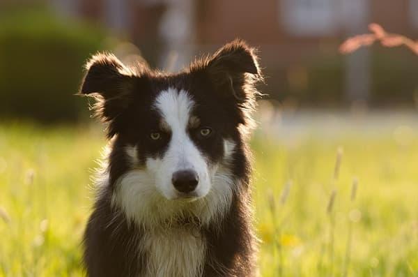 Border Collie cucciolo marrone e bianco