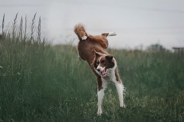 Border Collie marrone mentre salta