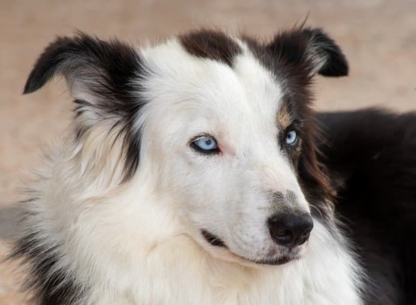 Border Collie occhi azzurri