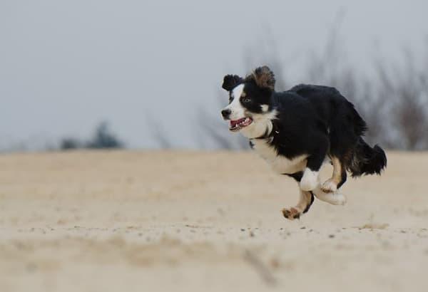 Border Collie seduto che corre in spiaggia