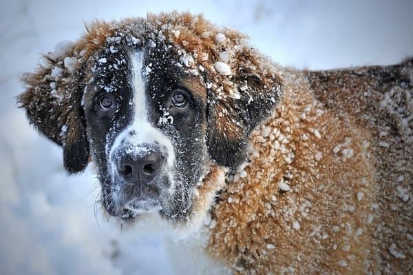 Cane San Bernardo sulla neve