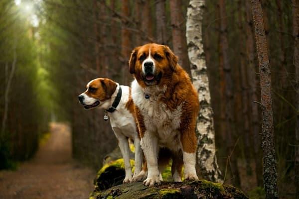 Cani San Bernardo nel bosco