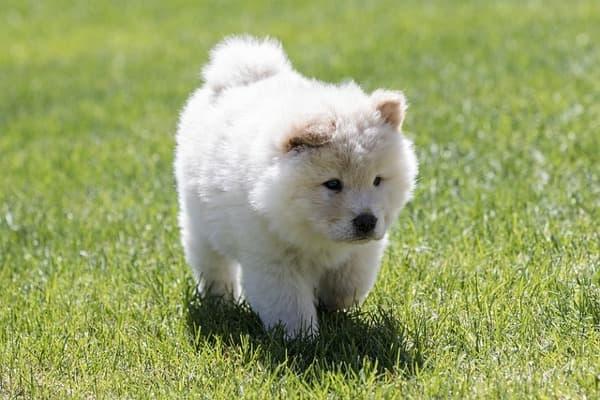 Chow chow cucciolo bianco