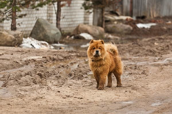 Chow chow in pelo folto