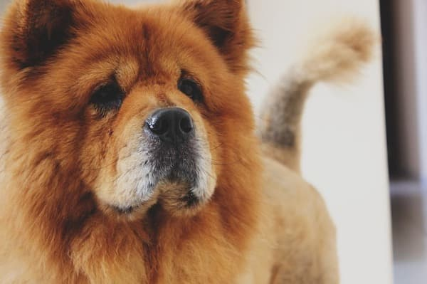 Chow chow primo piano