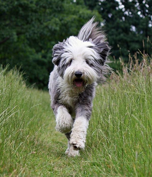English Sheepdog che corre