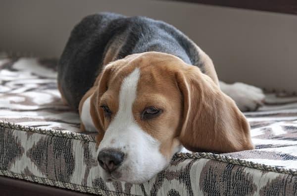 Primo piano di Beagle sul divano