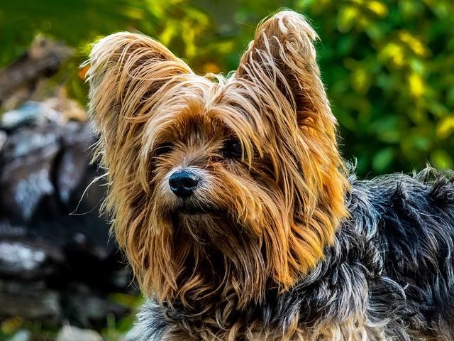 yorkshire terrier pelo lungo