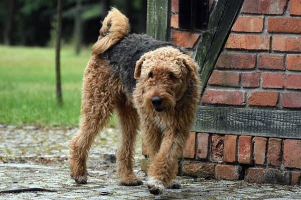 Airedale terrier tipico mantello