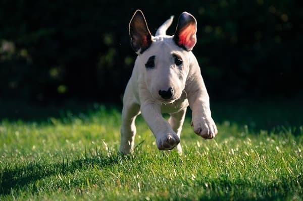 Bull terrier cucciolo che corre