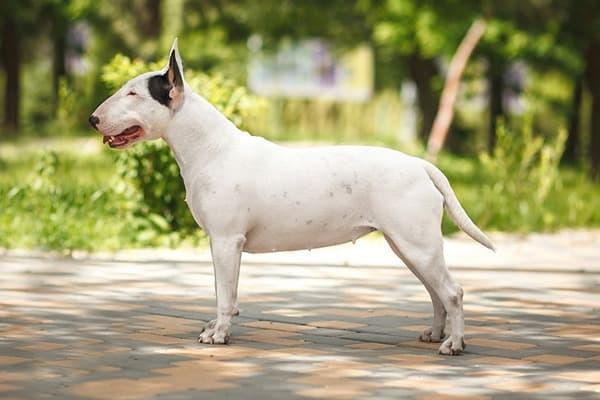 Bull terrier figura intera