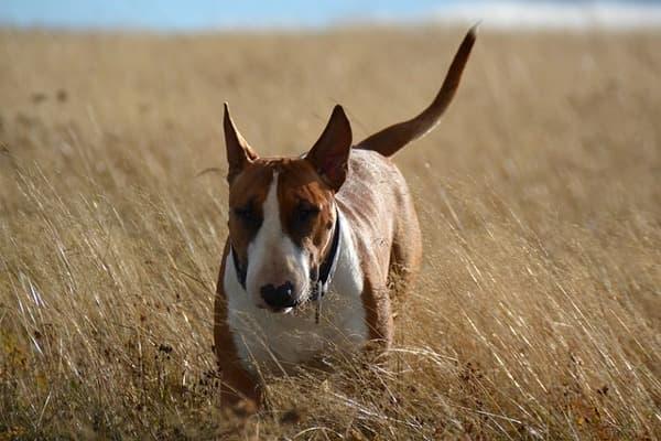 Bull terrier in un campo
