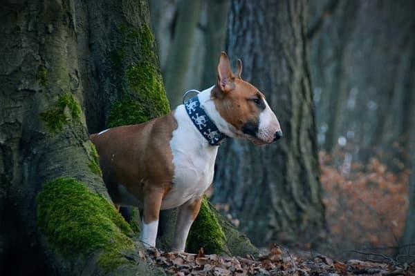 Bull terrier nel bosco