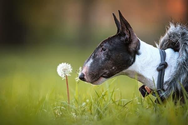 Bull terrier profilo