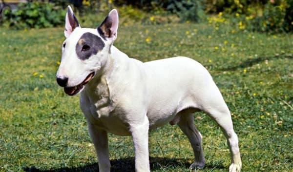 Bull terrier tipico