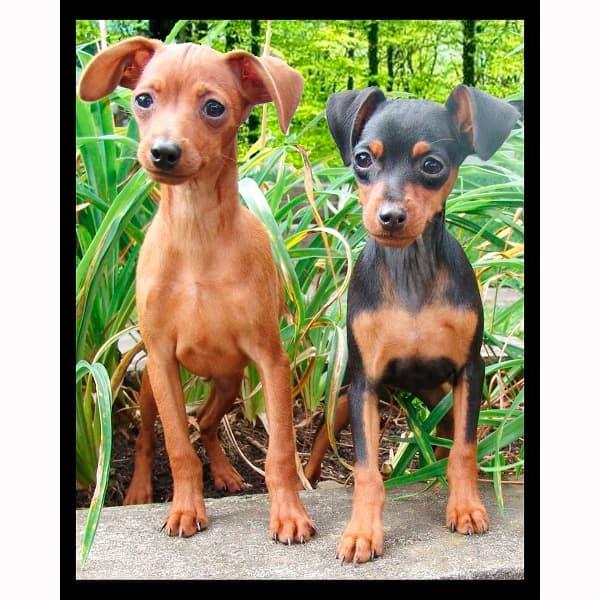 Pinscher nano cuccioli marrone e nero